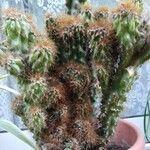 Opuntia cylindrica