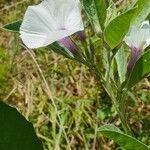 Astripomoea hyoscyamoides