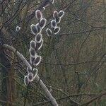 Salix discolor