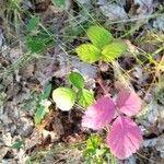 Rubus ulmifolius Leaf