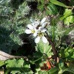 Cardamine parviflora