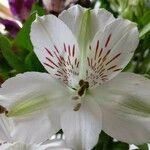 Alstroemeria spp.
