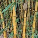 Bambusa vulgaris Kéreg