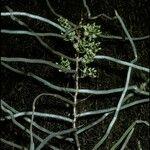 Microcoelia aphylla