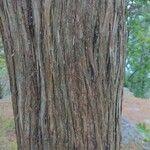 Juniperus virginiana Koor