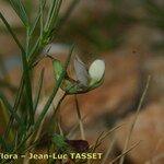 Lathyrus saxatilis