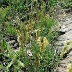 Plantago holosteum
