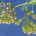 Centranthus calcitrapae