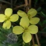 Brassica fruticulosa