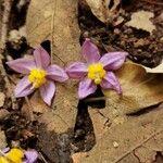 Solanum dulcamaroides