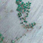 Euphorbia prostrata Levél