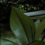 Johannesteijsmannia altifrons