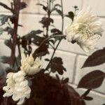 Chrysanthemum indicum Kukka