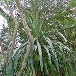 Dracaena umbraculifera