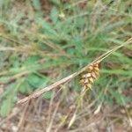 Carex punctata