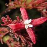 Hoffmannia liesneriana