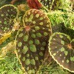 Begonia chlorosticta