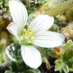 Geranium sessiliflorum