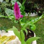 Celosia argentea Kukka