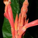 Aphelandra golfodulcensis