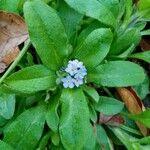 Myosotis sylvatica 花