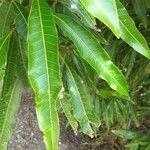 Mangifera indica Feuille