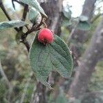 Cotoneaster pyrenaicus