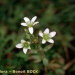 Saxifraga aquatica x Micranthes stellaris var. robusta