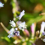 Polygala serpyllifolia Fleur