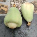Ficus pumila 果実