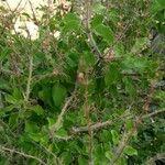Ocimum tenuiflorum Leaf