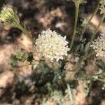 Chaenactis stevioides Kukka