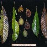Pradosia atroviolacea