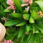 Hyacinthus orientalis Leaf