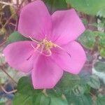 Dissotis rotundifolia 花