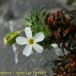 Androsace pyrenaica