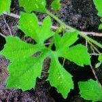 Momordica charantia Leaf