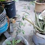 Euphorbia hirta Owoc
