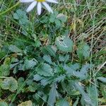 Leucanthemum vulgare 叶