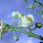 Paullinia granatensis