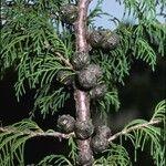 Cupressus torulosa