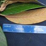 Guettarda tournefortiopsis