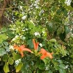 Tecoma capensis Flower