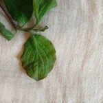 Cornus sanguinea List