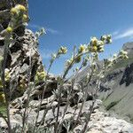 Artemisia umbelliformis