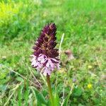 Orchis purpurea Kvet