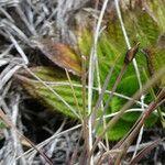 Castratella piloselloides