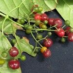 Psychotria marginata