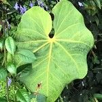 Anthurium faustomirandae