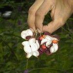 Erythrina gibbosa